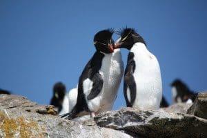 Felsenpinguin Falkland (Bild Gemperle)